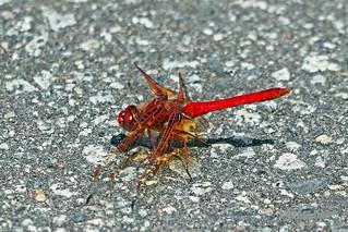 Cardinal Meadowhawk 18-0521-9151