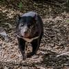 On The Run (gecko47) Tags: tasmaniandevil mammal marsupial carnivore tasmania fauna zoo australiazoo beerwah sunshinecoast queensland action running sarcophilusharrisii dasyuridae