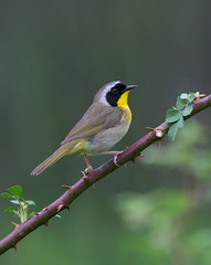 Common Yellowthroat Warbler. (mandokid1) Tags: canon 1dx ef400mmdoii birds warblers