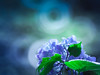 at the back of hydrangea (Tomo M) Tags: plant nature bokeh donut ring tamron light ドーナツボケ 紫陽花