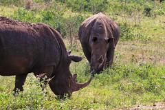 IMG_7076luma (R. Tim Patterson) Tags: whiterhinoceros hluhluweimfolozipark hluhluweimfolozi game reservesouth africazululandkwazulunatal