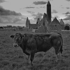 Kuh vor Kilmacduagh (efgepe) Tags: 2018 irland mai pentaxk5 ireland bw sw blackwhite silverefexpro kloster abbey monastery kilmacduagh nik ruins cow