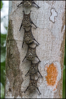 Brazilian Long-nosed Bats