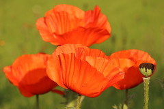 Red Sea (Henry Hemming) Tags: poppy poppies papaver red spring flowers tall height english country garden herbaceous perennial border plant rouge glowing