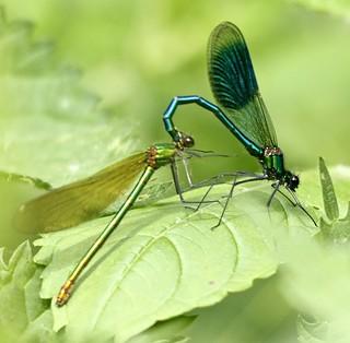 Banded Demoiselle - Calopteryx splendens - pair in tandem II