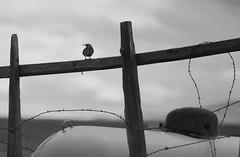 Lark (ramislevy) Tags: meadowlark tank barbedwire cody blm