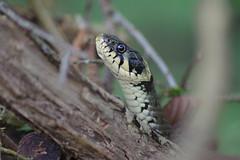 Ringelnatter (Aah-Yeah) Tags: ringelnatter snake natrix schlange jägerberg grassau achental chiemgau bayern