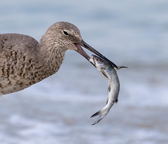 Willet (Gary McHale) Tags: willet fish feeding prey fort myers florida gary mchale gulf coast coth5