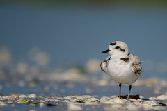 Hope (craig goettsch) Tags: sanibel2018 snowyplover bird avian florida nature wildlife nikon d850