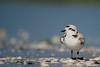 Hope (craig goettsch) Tags: sanibel2018 snowyplover bird avian florida nature wildlife nikon d850