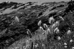 bibiche (mamalaas) Tags: plage beach noiretblanc blackandwhite canon france finistre bretagne sea mer ocean soleil sun 29 rocks close europe nature water eau flower