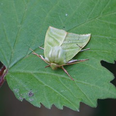 Green Silver-lines (Dr Wood's Wildlife Photos) Tags: greensilverlines pseudoipsprasinana haliasduhêtre kleinerkahnspinner zilverengroenuil grønbøgeugle venhoyökkönen rødfrynsetbåtspinner mindrebåtspinnare 2422 nolidae moth