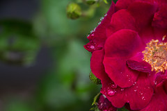 Green & Red (foregorp) Tags: flower closeup nature red green colorful anther filament beautiful water rain raindrops delicate macro bloom blooming petal petals
