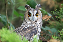 Long Eared Owl (Saleha Ullah) Tags: animals widlife countryside west country devon cornwall owl bird nature