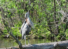 Feathered Friends! (anng48) Tags: parcdesrapides villelasalle montreal mtl quebec qc great blue herongrand heron
