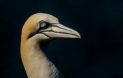 Gannet Portrait. (pitkin9) Tags: bird seabird gannet portrait nature wildlife rspbreserve bemptoncliffs eastyorkshire england