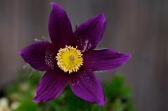 flower 1412 (kaifudo) Tags: sapporo hokkaido japan botanicalgarden flower anemonecernuathunb 北海道 札幌 北大植物園 翁草 オキナグサ nikon d810 sigmaapomacro150mmf28 sigma 150mm macro