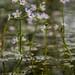 Water Violets (steb1) Tags: waterviolet hottoniapalustris wildflower botany soundcommon flagshippond freshwaterhabitatstrust