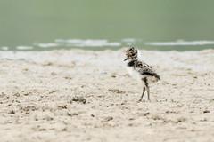 Long legs (Stickyemu) Tags: wildlife nature baby chick cute legs waterbird water fluffy little nikond500 nikon200500mmf56