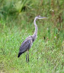 05-27-18-0019902 (Lake Worth) Tags: animal animals bird birds birdwatcher everglades southflorida feathers florida nature outdoor outdoors waterbirds wetlands wildlife wings