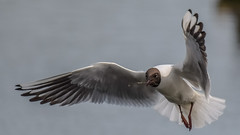stick or twist (Paul Wrights Reserved) Tags: blackheadedgull seagull seabird seagulls bird birding birdphotography birds birdwatching birdinflight