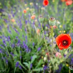 Coquelicots - Poppies thumbnail