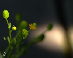 Micro graines et micro fleurs/micro sized seed balls and flowers (bd168) Tags: fleurs flowers micro graines seeds bokeh plantes plants fields champs wild sauvages xt10 xf60mmf24 r macro