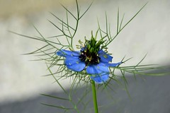 Flower (PinoyFri) Tags: blume flower bulaklak bunga fleur fiore 花 bloem blomst flor hoa jungferimgrünen nigelladamascena blossom soft blueflower blue