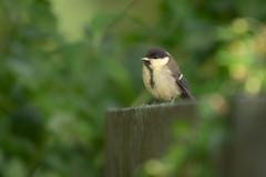 Kohlmeise (Parus major) (jmwill2005) Tags: kohlmeise parus major jungvogel juvenil herrenberg badenwürttemberg singvogel meise
