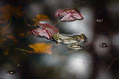 Frog 1 (Guy Goetzinger) Tags: goetzinger nikon d850 frog kermit frosch teich moor seleger 2018 swimming animal amphibien amphibie amphibian green water pond nature wildlife grenouille swim