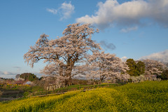 SAKURA 2018 #12 (applephoto*) Tags: 塩ノ崎の大桜 桜 福島県 一本桜 cherryblossoms fukushima giantcherrytreeofshionozaki landscape nature japan 2018