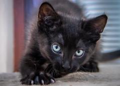 PurrC @ 9 weeks (helenehoffman) Tags: pet feline cat purrc kitten cute purrcival coth alittlebeauty coth5