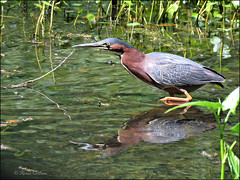 Green Heron  [Explored] (acadia_breeze4130) Tags: williamsburg virginia water heron greenheron green canal nature wildlife leaves reflection pose outside outdoors natural colorful sx60hs garden karencarlson wadingbird