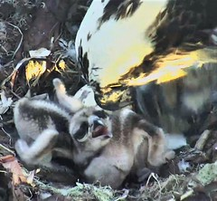 Osprey chicks at Hog Island 2018-06-03 05-21-04-992 (selro4me) Tags: ospreycams osprey raptor birdofprey fisheagle fishhawk nest eggs steve rachel island maine bailey hogisland audubon bremen usa