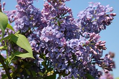 Lilacs Blooming In Front Yard 015 (Chrisser) Tags: flowers lilacs shrubs syringavulgaris oleaceae nature ontario canada canoneosrebelt6i canonefs1855mmf3556isstmlens gardening garden fourseasons spring closeups