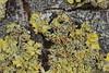 Common Orange Lichen - Xanthoria parietina (Björn S...) Tags: flechte lichen lichene xanthoriaparietina gewöhnlichegelbflechte commonorangelichen yellowscale maritimesunburstlichen shorelichen parméliedesmurailles lichenencroûtantjaune