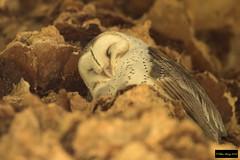 Eastern Barn Owl (Tyto delicatula delicatula) (Dave 2x) Tags: tytodelicatuladelicatula tytodelicatula tyto easternbarnowl eastern owl barnowl centennialpark sydney nsw australia dayroost