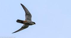 9Q6A5240 (2) (Alinbidford) Tags: alancurtis alinbidford birdofprey brandonmarsh hobby nature wildbirds wildlife
