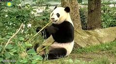 2018_06-04e (gkoo19681) Tags: beibei chubbycubby fuzzywuzzy adorableears feetsies brighteyed toofers smile morningboo seatforone toocute beingadorable precious sohandsome contentment posing ccncby nationalzoo