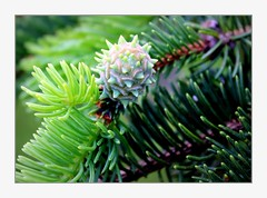 spruce (overthemoon) Tags: switzerland suisse schweiz svizzera romandie vaud lausanne boisgentil tree spruce fir evergreen green cone branches macromondays allnatural nature spring frame needles youngcone