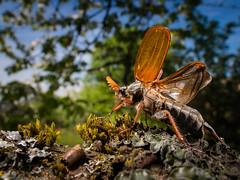 Ready to take off (Eifeltopia) Tags: insekt insect käfer maikäfer frühling spring südeifel garten branch ast maybug bug bugslife engerling melolontha wings takeoff firstflight backyard rheinlandpfalz beetle