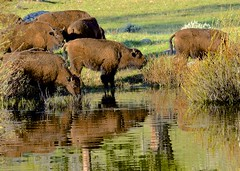 Down By The Waterhole (hecticskeptic (off to Spain until mid-October soon) Tags: yellowstone yellowstonenationalpark markamorgan spring 2018 may bison reflection