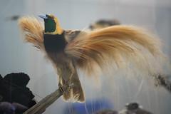 Untidy feathers (quinet) Tags: 2017 canada ontario präparatoren rom royalontariomuseum toronto empaillage museum musée naturalhistory taxidermy 124