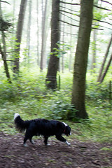The Woods Fade (Captain192) Tags: dogs dog collie spaniel spanielcolliecross sprollie bordercollie outwoods theoutwoods woods trees paths