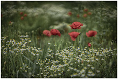 Popies and chamomile (aviana2) Tags: chamomile poppy field flower red sonya7ii 4 minolta85mm