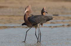 Mr & Mrs (Gary McHale) Tags: reddish egret egrets male female fort myers florida gary mchale ngc npc