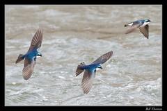 Tree Swallow-3 (billthomas_steel) Tags: treeswallow tachycinetabicolor swallow bird hunting flying river wildlife britishcolumbia canada canon eos7dmarkii