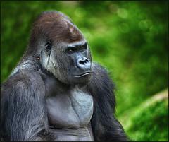 Gorilla (guenterleitenbauer) Tags: 2017 animal animals günter leitenbauer schmiding schmieding tier tiere tierpark zoo animales wildpark affe affen gorillas gorilla ape primat beast flickr foto fotos photo photos bild bilder zoos 2018