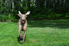 23/52 Hanna listening to being called (ruthinea) Tags: 52weeksfordogs hanna weimaraner recall training ears smile come