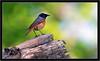 REDSTART { male } (PHOTOGRAPHY STARTS WITH P.H.) Tags: redstart nale sb800 nikon d500 yarner woods devon teleconverter